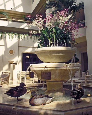 Ducks walk around fountain in lobby of a hotel, Orlando, Florida.  Ducks have their own room at hotel and arrive each day with their trainer via the elevator.