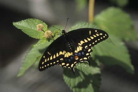 Giant Swallowtail (Heraclides cresphontes) butterfly rests. Stock Photo