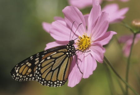 Monarch butterfly (Danaus plexippus) sips nectar from pink Cosmos flower.