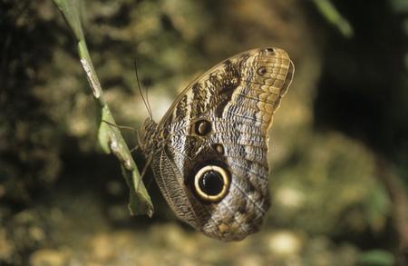 eyespot: Owl Butterfly (Caligo memnon) has eye spots on each wing to deter predators.