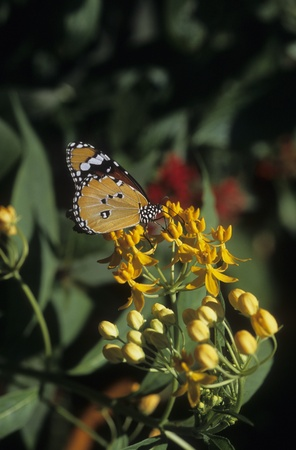 Plain Tiger butterfly sips flower nectar in Florida. Stock Photo