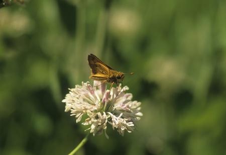 skipper: Skipper butterfly drinks nectar from garden flower. Stock Photo