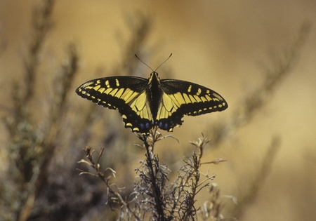 Anise Swallowtail butterfly rests on flower in Florida, USA.