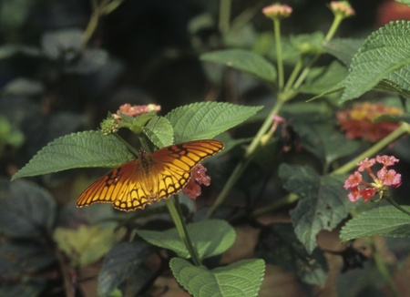 dione: Mexican Silverspot (Dione moneta)  flies fthough garden. Stock Photo
