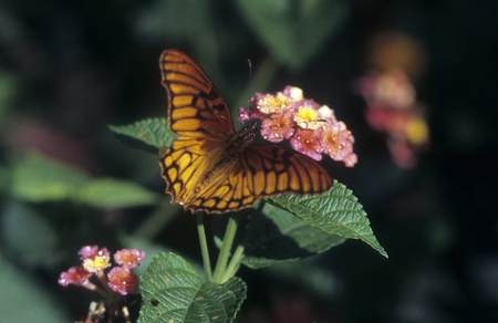 Mexican Silverspot  (Dione moneta)  butterfly on Lantana flower.