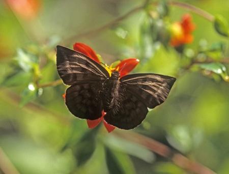 butterfly or moth dark brown in Coatepec mx