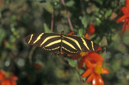 butterfly zebra in Coatepec mx