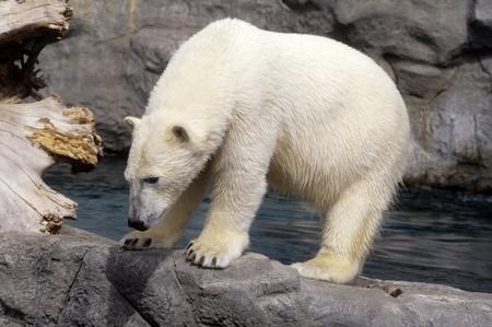 Curious Polar bear at Albuquerque Zoo, New Mexico, USA