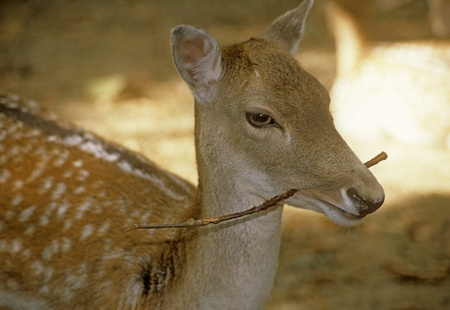 Deer European fallow captive Dama dama dama