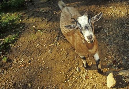Goat African pygmy Lapra hircus 版權商用圖片