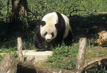 Giant Panda bear walking Stock Photo