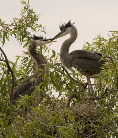 A male Great Blue Heron (Ardea herodias) brought a fish to his mate in the trees  in Venice, Florida, USA. Stock Photo