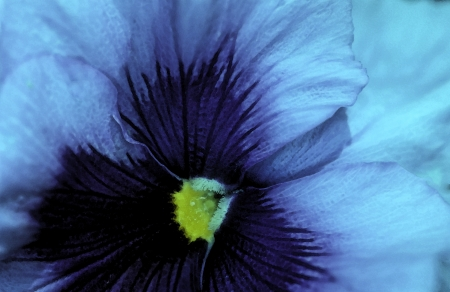 Close-up of beautiful blue and purple pansy garden flower growing in summer makes a cool wallpaper. Stock Photo