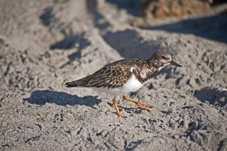 A Plover type of shorebird walks on Florida beach  Banco de Imagens