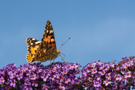 The colorful butterfly Painted Lady (Vanessa cardui) starts from purple flowers