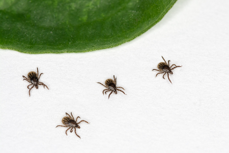 Four ticks are running away from the green leaf. Dangerous parasites and carriers of infection Stock Photo