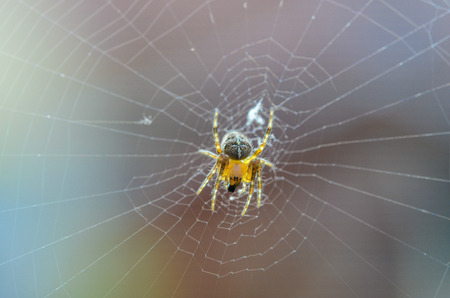 Young transparent spider on his web with color background