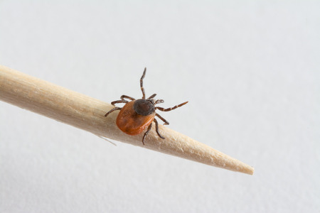 Interesting tick (Ixodes ricinus) on wood toothpick. Dangerous parasite and carrier of infection. Stock Photo