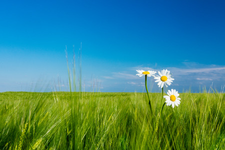 Romantic view of white marguerites in green corn field under blue sky