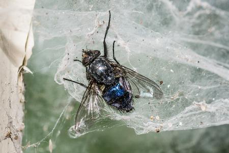 Shiny dead fly in web