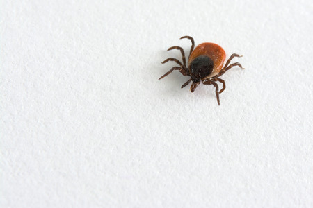Big tick on white background. Ixodes ricinus. Dangerous parasite and carrier of infection.