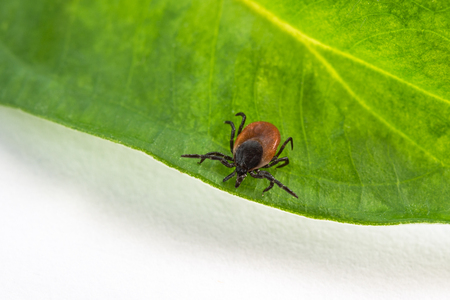 Interesting tick on a green leaf. Ixodes ricinus. Dangerous parasite and carrier of infection.