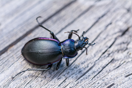 Glossy black ground beetle lifeless on wooden background