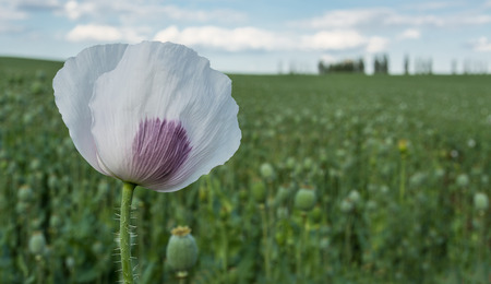 Detail of blooming poppy. Blurred field with poppy heads on background.