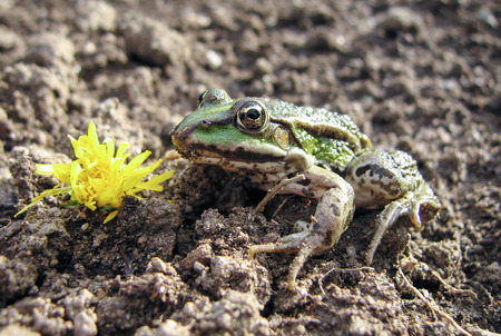Green frog with flower. The beautiful frog beside yellow flower. Perhaps a fairy tale prince.
