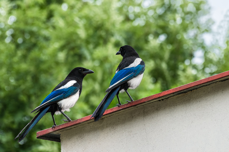 Two conspirators on the roof. Pica pica. Romantic meeting of a beautiful bird pair. Eurasian magpie or common magpie. Stock Photo