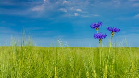 Beautiful cornflowers in barley - Centaurea Cyanus. Idyllic landscape with three bluebottles in green corn field under blue sky. HD ratio - 16x9. Stock Photo