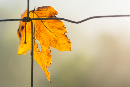 Yellow leaf as symbol of autumn. Detail of the dry maple leaf on a wire fence with blurred natural background.