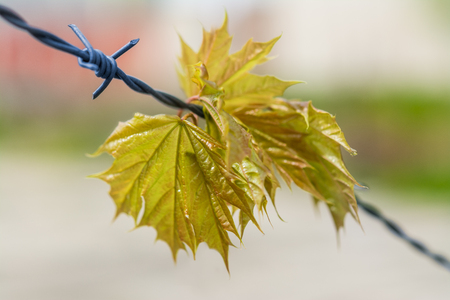 Spring maple leaves on barbed wire. Maple branch caught on protective fence. Acer.