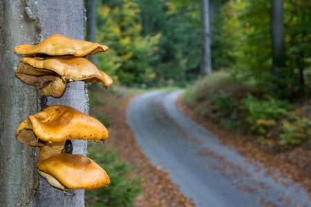 ochre: Bunch of yellow mushrooms growing from beech tree trunk. Funguses on tree bark with blurred forest path in the background.