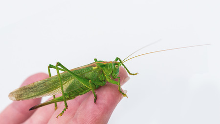 Beautiful green female grasshopper. Tettigonia viridissima. Big insect with long antennae on human hand with white background.