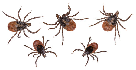 parasite: Collection of ticks from the bottom and from above. Ixodes ricinus. Set of dangerous parasites and infection carriers isolated on white background.