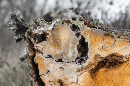 Close-up of a tree trunk with decorative bark on the edge. Beautiful view of wooden texture of the log in a cut with a blurred winter background.