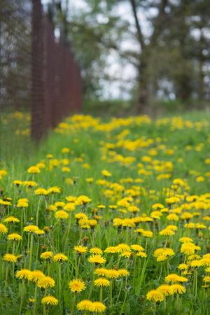 Common dandelion in spring meadow. Taraxacum officinale. Beautiful yellow flowers of medicinal dandelions in green lawn behind brown garden fence. Stock Photo