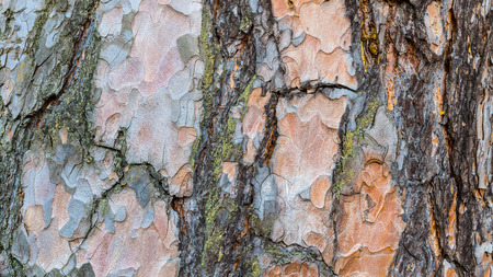 Close-up of flaky pine bark texture. Pinus. Beautiful decorative background from the scaly cracked trunk of an old conifer with traces of green moss. Stock Photo