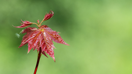 Young leaves of Japanese maple. Acer palmatum. Red-leafed cultivar close-up. Little lush ornamental tree. Fresh foliage on branch. Blurry green spring background. Copy space. Selective focus. Stock Photo