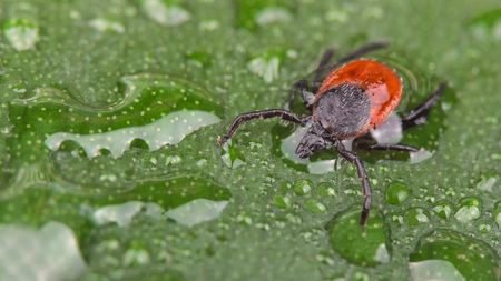 Wet deer tick on green leaf with water drops. Ixodes ricinus. Dangerous parasite with black legs on the dewy spring plant. Transmitter of infections as encephalitis and Lyme disease. Stock Photo