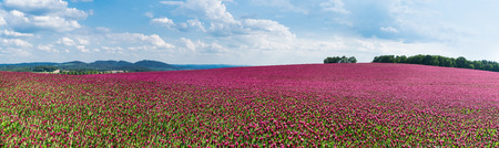 Spring panorama of flowering crimson clovers. Trifolium incarnatum. Beautiful panoramic field of red trefoil. Idyllic view, hills and forest on the horizon. Blue sky and white clouds. Full depth of field. Stok Fotoğraf