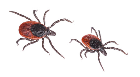 Close-up of two deer ticks. Castor bean tick. Ixodes ricinus. Detail of dangerous biting parasites. They carry infections such as encephalitis and Lyme borreliosis. Isolated on white background. Reklamní fotografie - 103012193
