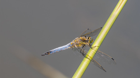 Black-tailed skimmer male on reed stem. Orthetrum cancellatum. Beautiful blue and yellow dragonfly on a gray background with blank space. Pond in southern Bohemia, Europe.