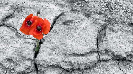 Red poppy blooms in a dried field. Papaver rhoeas. Two flowering corn poppies in cracked arid soil. Hope and hardiness idea. Black and white background. Extreme weather and climate changes.