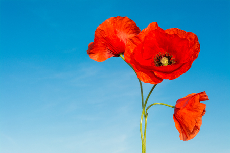 Three red flowers of poppies on a blue sky background. Papaver rhoeas. Beautiful close-up of wild corn poppy silhouettes in bloom against clear azure heaven. Sunny spring weather.