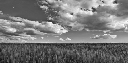 Black and white scene with barley field. Hordeum vulgare. Beautiful panoramic landscape with dramatic cloudy sky. Scenic melancholy agricultural background. Spring romantic scenery with grain ears.