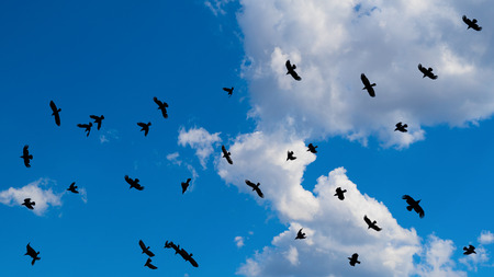 Cloudscape with a flock of flying black birds with spread wings. Beautiful summer scenery. Group of soaring ravens on a background of blue sunny sky and white fluffy clouds. Climate, weather, ecology.
