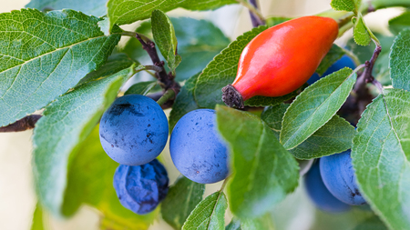 Ripe blue sloes and red hip. Prunus spinosa. Rosa canina. Wild blackthorn branch close-up. Green leaves, shiny rosehip. Fresh berries of tart astringent taste. Healthy briar fruit. Natural background.