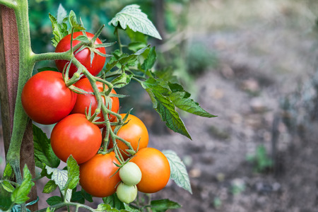 Bunch of red tomatoes in a vegetable bed. Solanum lycopersicum. Growing tomato fruits with green leaves. Close-up of ripening on blurry background. Idea of gardening, farming. Great depth of field. Stock Photo